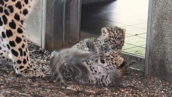 В венском зоопарке родились детеныши амурского леопарда - Sputnik Латвия