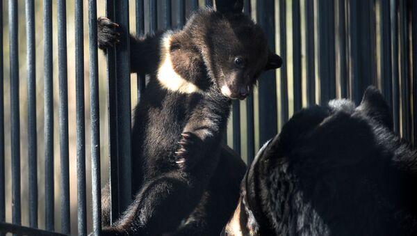 Гималайский медвежонок и медведица Челси в вольере Новосибирского зоопарка - Sputnik Латвия