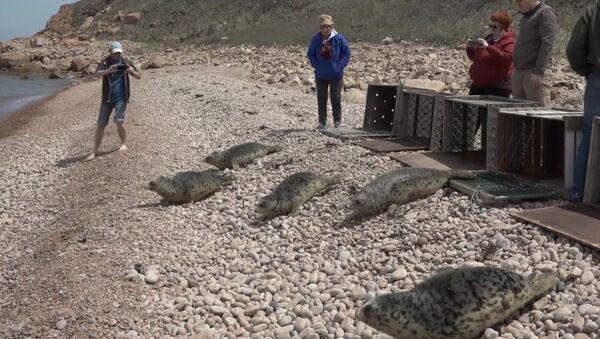 Спасенных тюленей выпустили на волю под Владивостоком - Sputnik Латвия