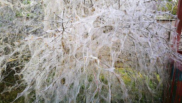 Черемуховая моль опутала деревья в Риге - Sputnik Латвия