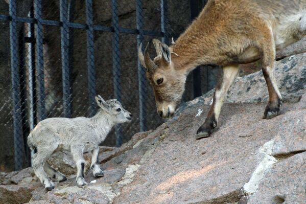 Новорожденный детеныш дагестанского тура в Московском зоопарке - Sputnik Латвия