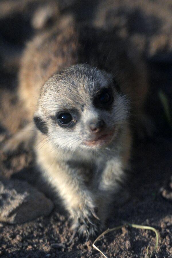Новорожденный детеныш суриката в Московском зоопарке - Sputnik Латвия