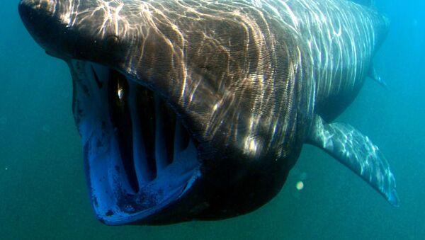 Гигантская акула - Sputnik Латвия