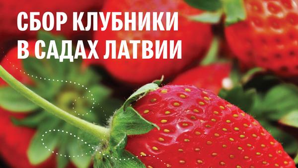 Сбор клубники в садах Латвии - Sputnik Латвия