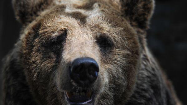 Бурый медведь в зоопарке Калининграда. - Sputnik Latvija