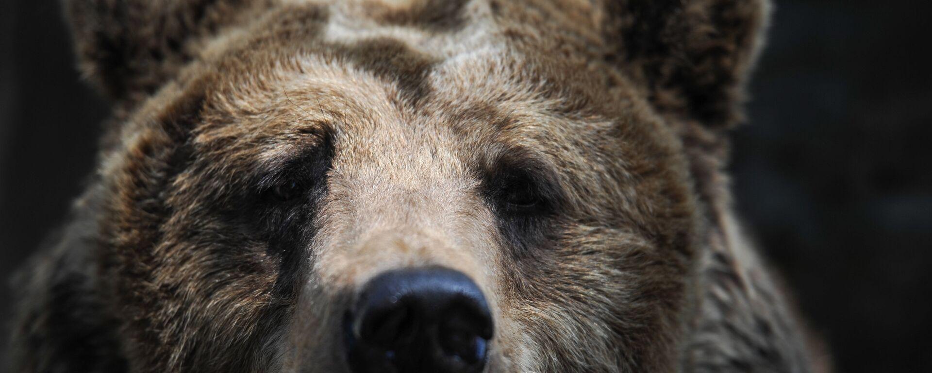 Бурый медведь в зоопарке Калининграда. - Sputnik Латвия, 1920, 21.06.2019