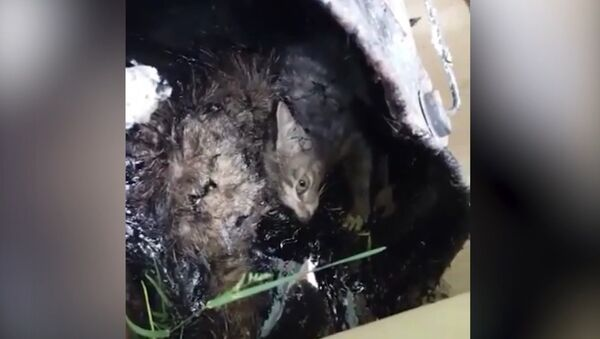 Как спасали котенка, которого живодеры заживо залили гудроном - Sputnik Латвия