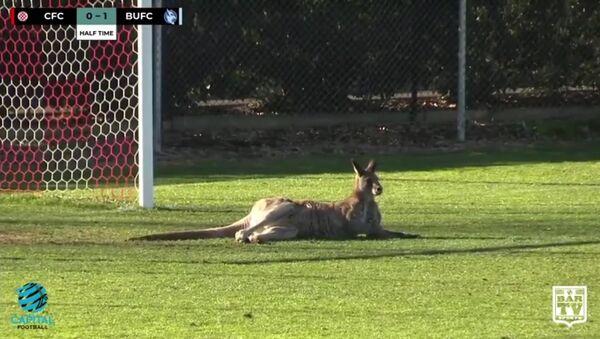 Кенгуру сыграл в футбол в Австралии - Sputnik Латвия
