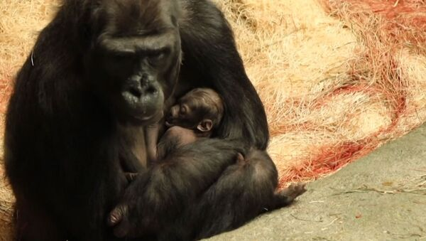 Малышка-горилла и ее мама в зоопарке Брукфилда - Sputnik Latvija