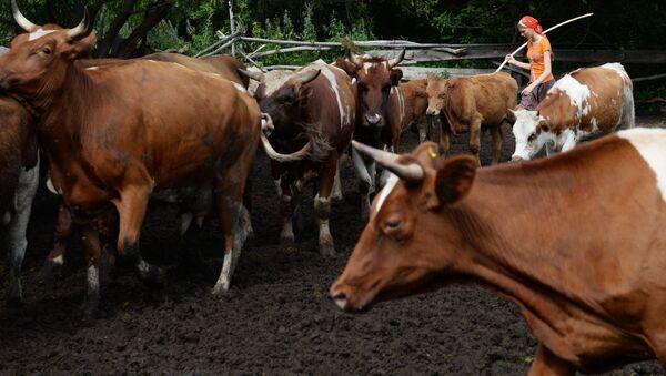 Коровы в загоне - Sputnik Латвия