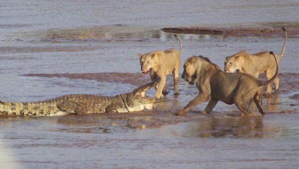 Lauvu un krokodila saķeršanās iemūžināta video - Sputnik Latvija