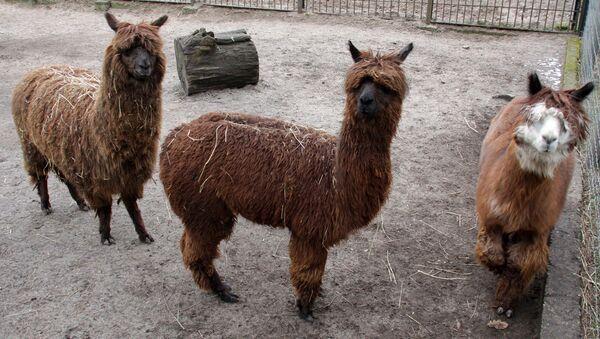 Отправка из Рижского зоопарка верблюдов и лам в Тбилисский зоопарк - Sputnik Латвия