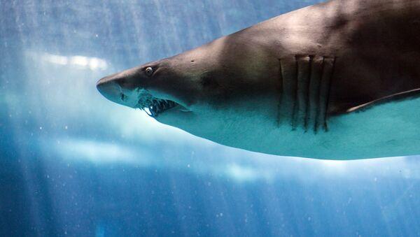 Песчаная акула - Sputnik Latvija