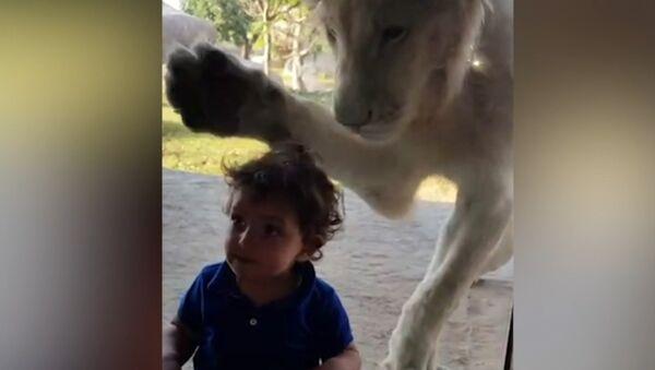 Лев пытался добраться до мальчика через стекло в зоопарке - Sputnik Латвия