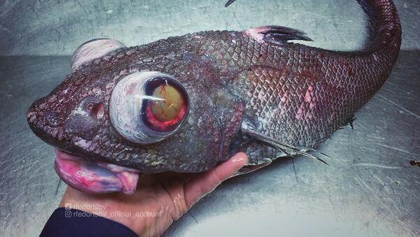 Neparasts jūras iemītnieks, kas tika izvilkts no lielā dziļuma netālu no Murmanskas. - Sputnik Latvija