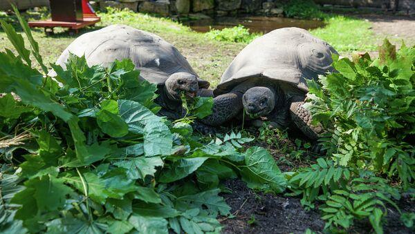 Традиционное взвешивание галапагосских черепах в Рижском зоопарке - Sputnik Latvija