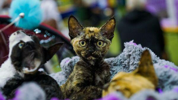 Международная выставка кошек в Риге - Sputnik Латвия