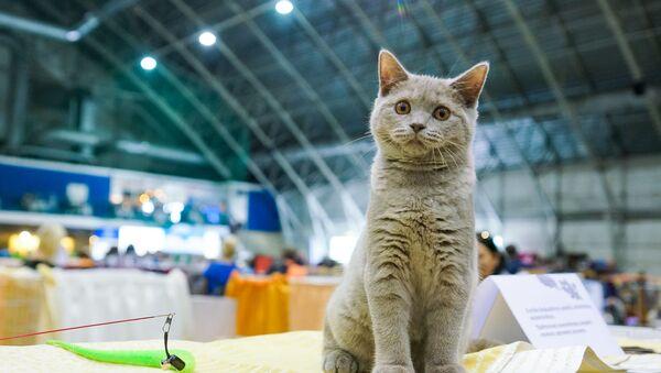 Британская кошка - Sputnik Latvija