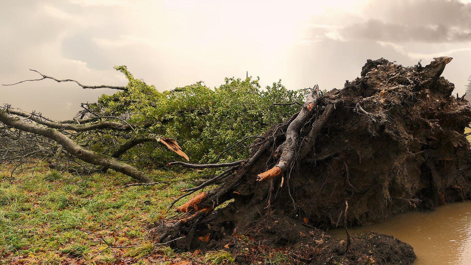 Поваленное дерево - Sputnik Латвия, 1920, 14.07.2021