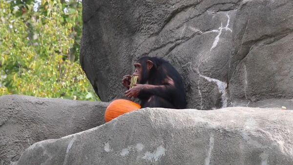 Хеллоуин животных – массовое поедание тыквы в Детройтском зоопарке  - Sputnik Латвия