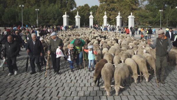 Тысячи овец и баранов прошли по центру Мадрида - Sputnik Латвия