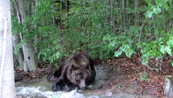 Туристы сняли на видео умывание бурого медведя в лесной речке - Sputnik Латвия