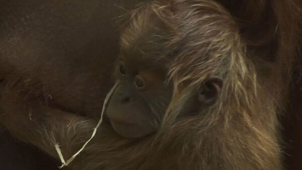 Немецкий зоопарк показал новорожденного орангутана - видео - Sputnik Латвия